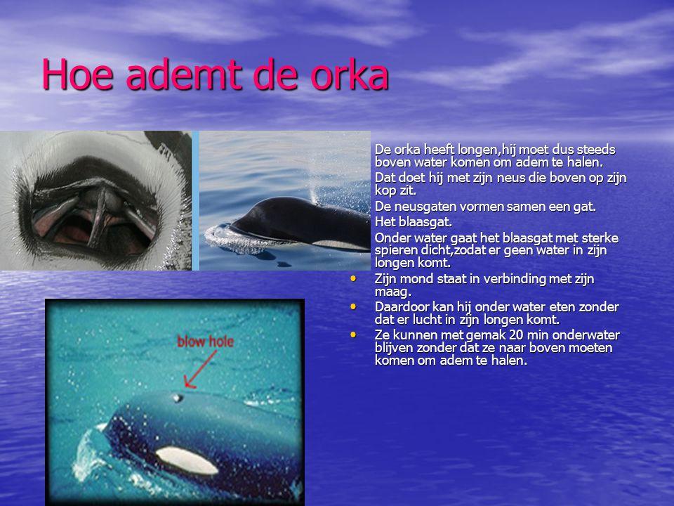 Hoe ademt de orka • De orka heeft longen,hij moet dus steeds boven water komen om adem te halen. • Dat doet hij met zijn neus die boven op zijn kop zi