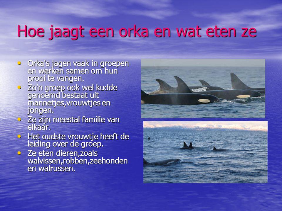 Hoe jaagt een orka en wat eten ze • Orka's jagen vaak in groepen en werken samen om hun prooi te vangen. • Zo'n groep ook wel kudde genoemd bestaat ui