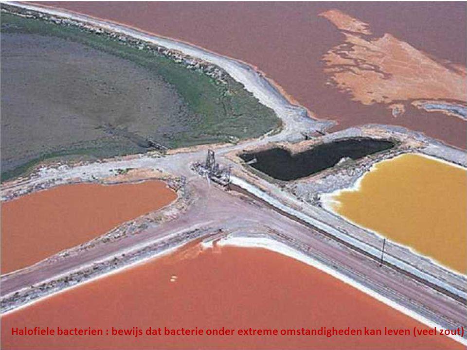 Halofiele bacterien : bewijs dat bacterie onder extreme omstandigheden kan leven (veel zout)