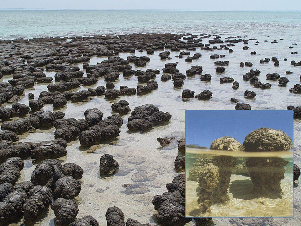 Stromatolieten: versteende oerbacterie- lagen 3,5 miljard jaar oud