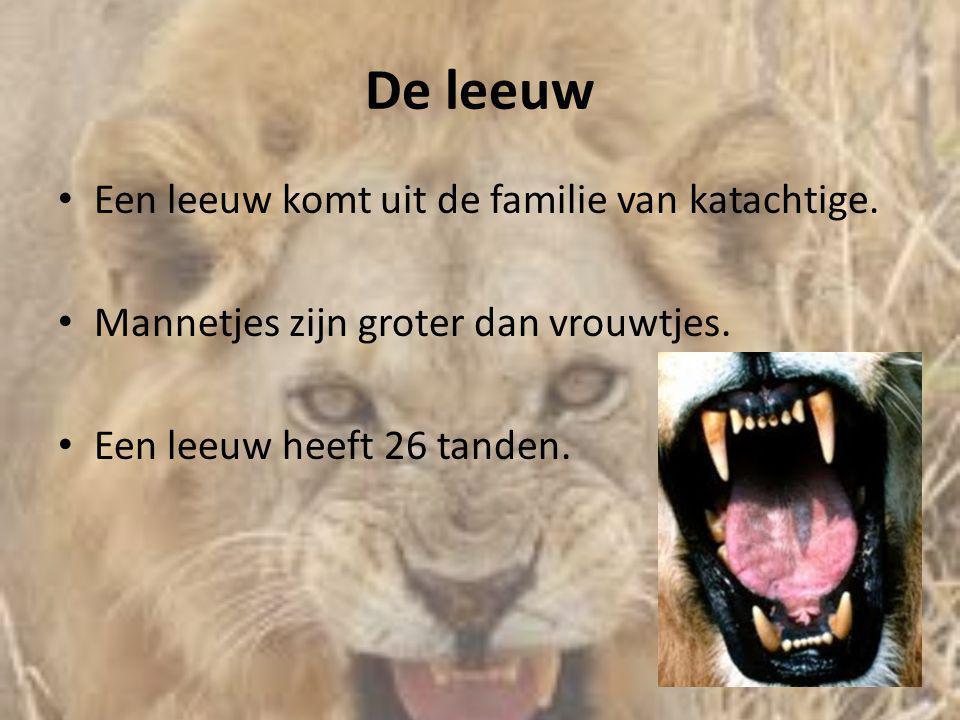 De leeuw • Een leeuw komt uit de familie van katachtige. • Mannetjes zijn groter dan vrouwtjes. • Een leeuw heeft 26 tanden.