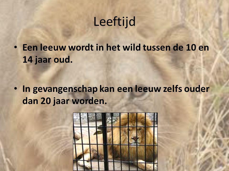 Leeftijd • Een leeuw wordt in het wild tussen de 10 en 14 jaar oud. • In gevangenschap kan een leeuw zelfs ouder dan 20 jaar worden.