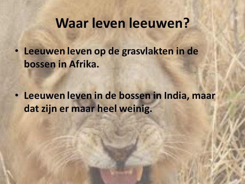Waar leven leeuwen? • Leeuwen leven op de grasvlakten in de bossen in Afrika. • Leeuwen leven in de bossen in India, maar dat zijn er maar heel weinig