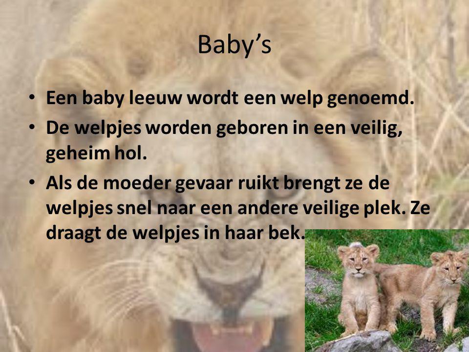 Baby's • Een baby leeuw wordt een welp genoemd. • De welpjes worden geboren in een veilig, geheim hol. • Als de moeder gevaar ruikt brengt ze de welpj