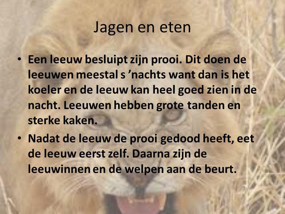 Jagen en eten • Een leeuw besluipt zijn prooi. Dit doen de leeuwen meestal s 'nachts want dan is het koeler en de leeuw kan heel goed zien in de nacht