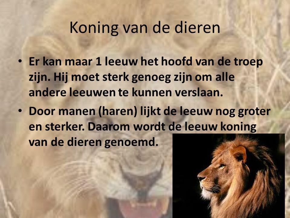 Koning van de dieren • Er kan maar 1 leeuw het hoofd van de troep zijn. Hij moet sterk genoeg zijn om alle andere leeuwen te kunnen verslaan. • Door m