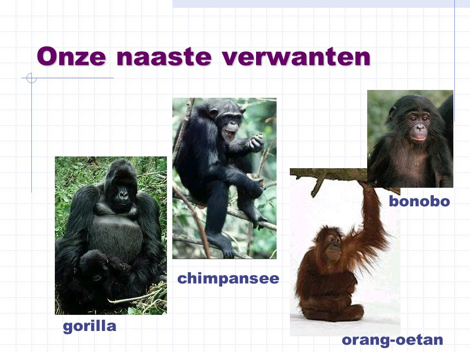 Onze naaste verwanten gorilla chimpansee bonobo orang-oetan
