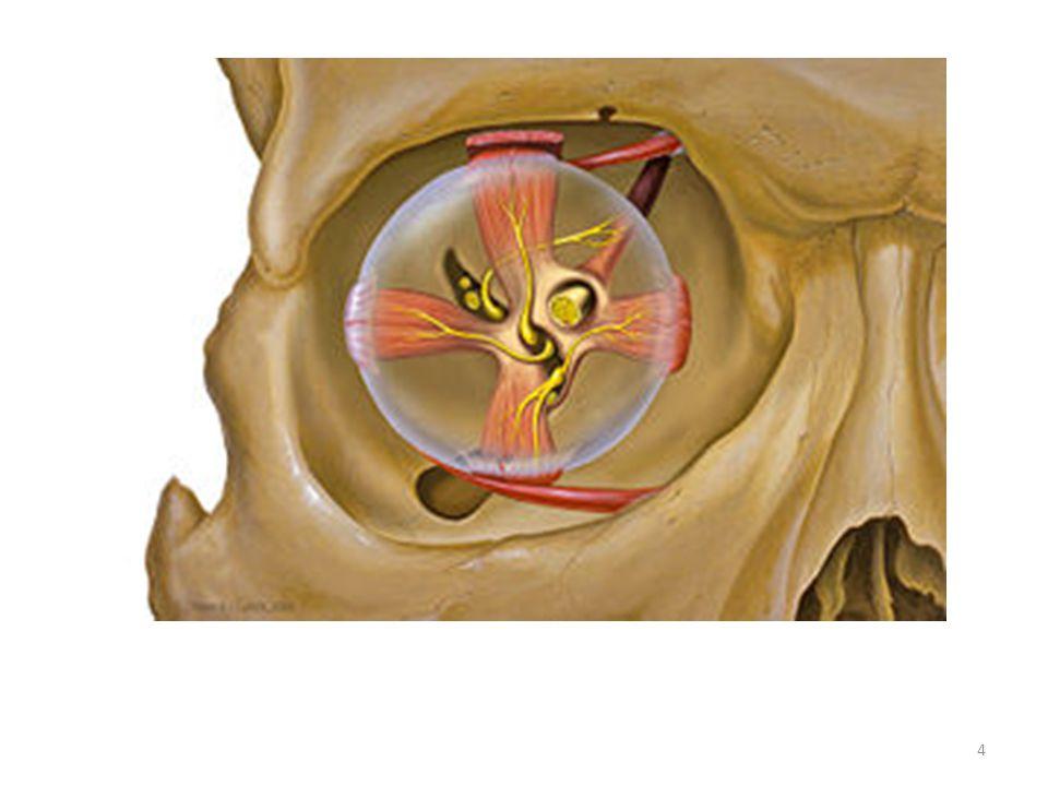 Terapie : intra-vitreale injecties met VEGF inhibitor Bij de natte vorm van AMD treedt nieuwvatvorming (subretinale neovascularisatie) en vaatlekkage onder de macula op.