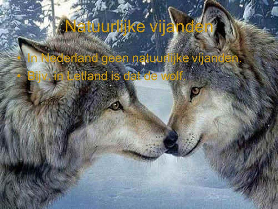 Natuurlijke vijanden •In Nederland geen natuurlijke vijanden. •Bijv. in Letland is dat de wolf.