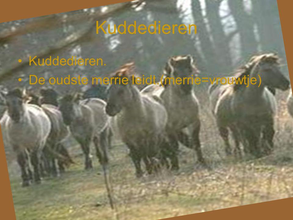 Kuddedieren •Kuddedieren. •De oudste merrie leidt.(merrie=vrouwtje)