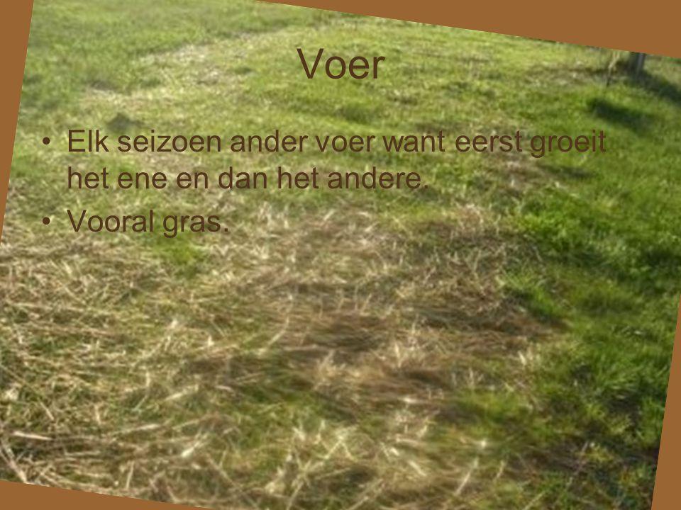 Voer •Elk seizoen ander voer want eerst groeit het ene en dan het andere. •Vooral gras.