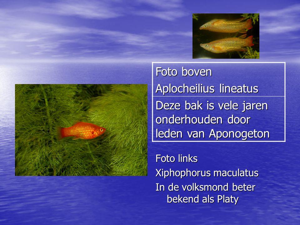 Foto links Xiphophorus maculatus In de volksmond beter bekend als Platy Foto boven Aplocheilius lineatus Deze bak is vele jaren onderhouden door leden