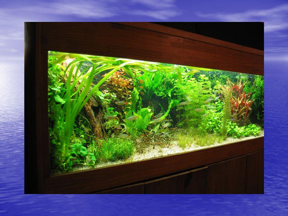 In dit aquarium zwemmen • In dit aquarium zwemmen: • 16 regenboogzalmen • 12 Corydorassen • 9 Vuurkeelsnoekjes • 16 Speciale guppen • 5 Zuidaziaatische waaierhand garnalen