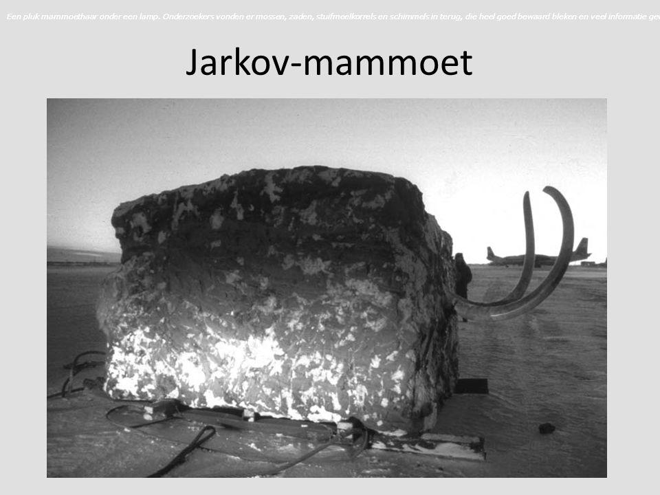 Jarkov-mammoet Een pluk mammoethaar onder een lamp.