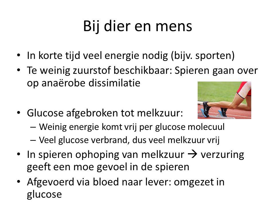 Bij dier en mens • In korte tijd veel energie nodig (bijv. sporten) • Te weinig zuurstof beschikbaar: Spieren gaan over op anaërobe dissimilatie • Glu