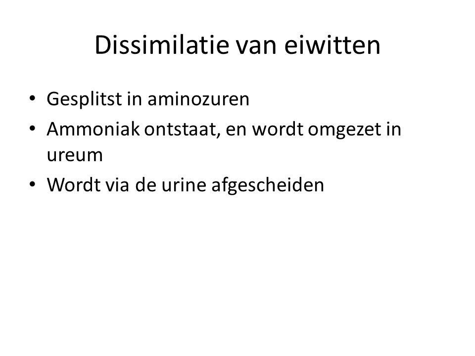 Dissimilatie van eiwitten • Gesplitst in aminozuren • Ammoniak ontstaat, en wordt omgezet in ureum • Wordt via de urine afgescheiden