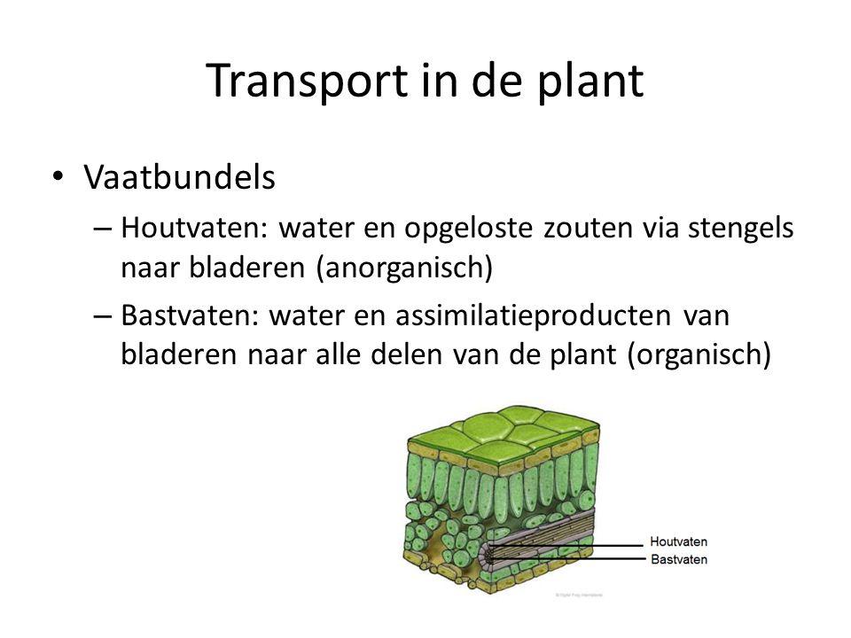 Transport in de plant • Vaatbundels – Houtvaten: water en opgeloste zouten via stengels naar bladeren (anorganisch) – Bastvaten: water en assimilatieproducten van bladeren naar alle delen van de plant (organisch)