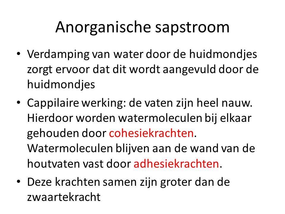 Anorganische sapstroom • Verdamping van water door de huidmondjes zorgt ervoor dat dit wordt aangevuld door de huidmondjes • Cappilaire werking: de vaten zijn heel nauw.