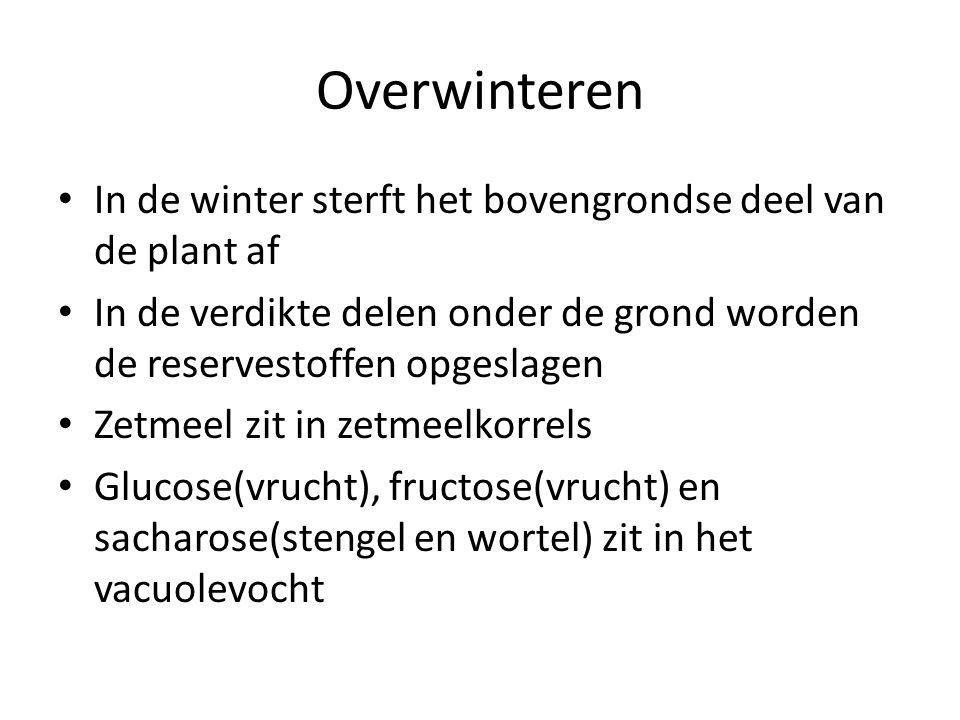 Overwinteren • In de winter sterft het bovengrondse deel van de plant af • In de verdikte delen onder de grond worden de reservestoffen opgeslagen • Zetmeel zit in zetmeelkorrels • Glucose(vrucht), fructose(vrucht) en sacharose(stengel en wortel) zit in het vacuolevocht
