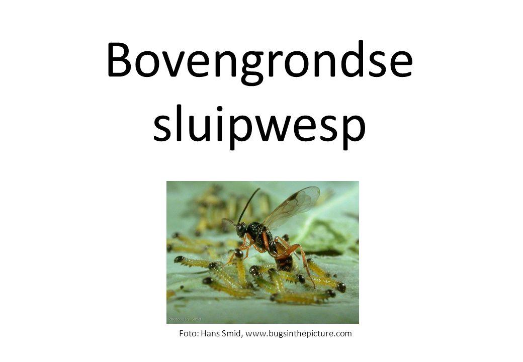 Bovengrondse herbivoor Foto: Hans Smid, www.bugsinthepicture.com