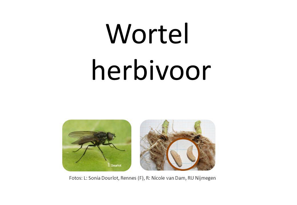 Wortel herbivoor S. Dourlot Fotos: L: Sonia Dourlot, Rennes (F), R: Nicole van Dam, RU Nijmegen