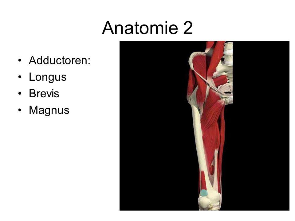 Anatomie 2 •Adductoren: •Longus •Brevis •Magnus