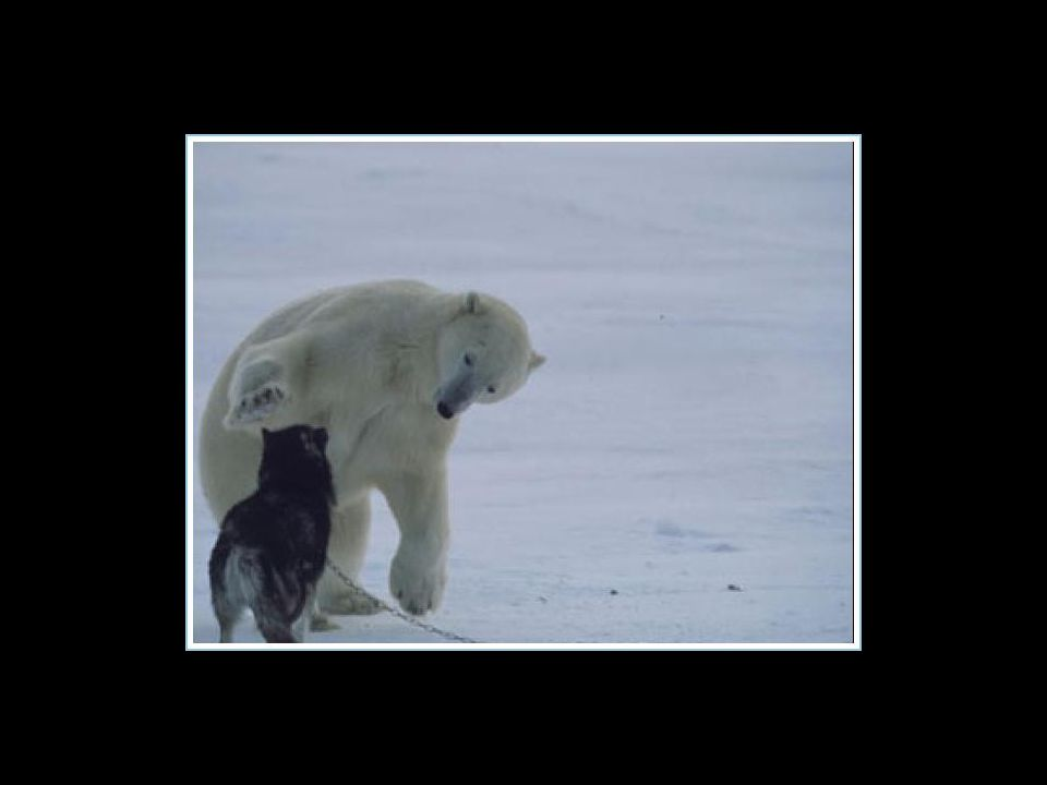 De ijsbeer is gedurende een week, elke nacht teruggekomen om met de honden te spelen… De ijsbeer is gedurende een week, elke nacht teruggekomen om met de honden te spelen…