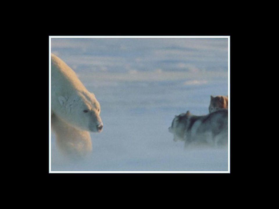 De fotograaf zag zijn huskies al opgegeten worden door de ijsbeer, die plots kwam opdagen… De fotograaf zag zijn huskies al opgegeten worden door de i