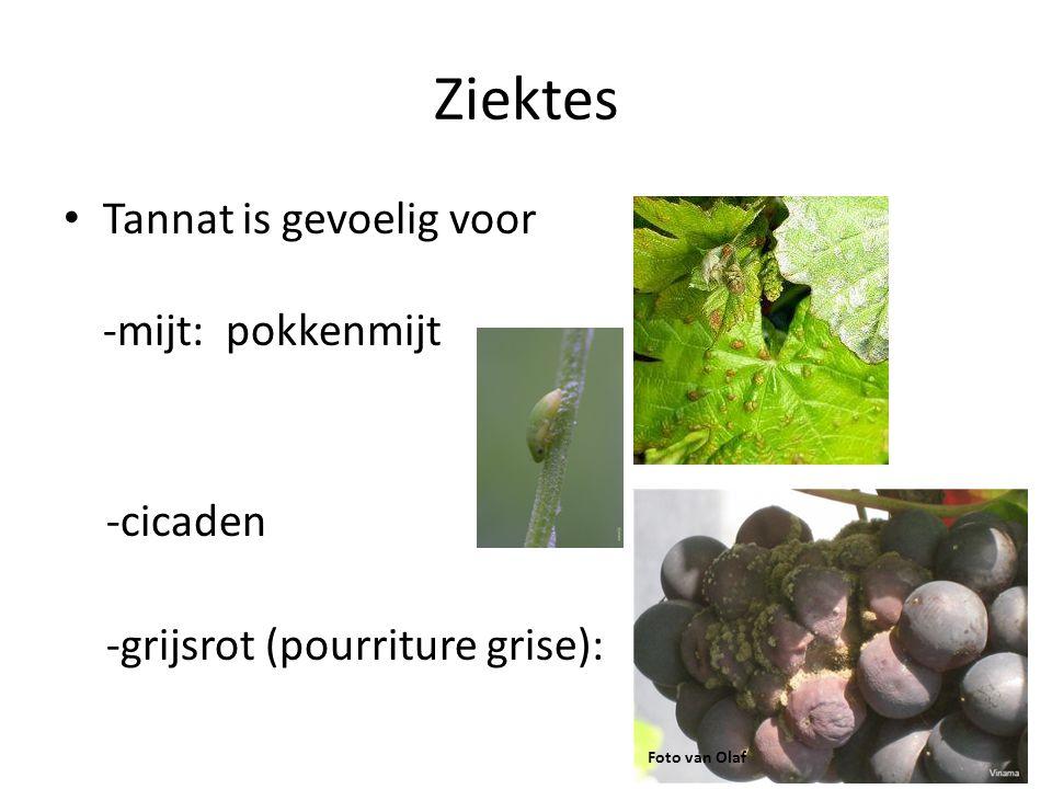 Ziektes • Tannat is gevoelig voor -mijt: pokkenmijt -cicaden -grijsrot (pourriture grise): Foto van Olaf