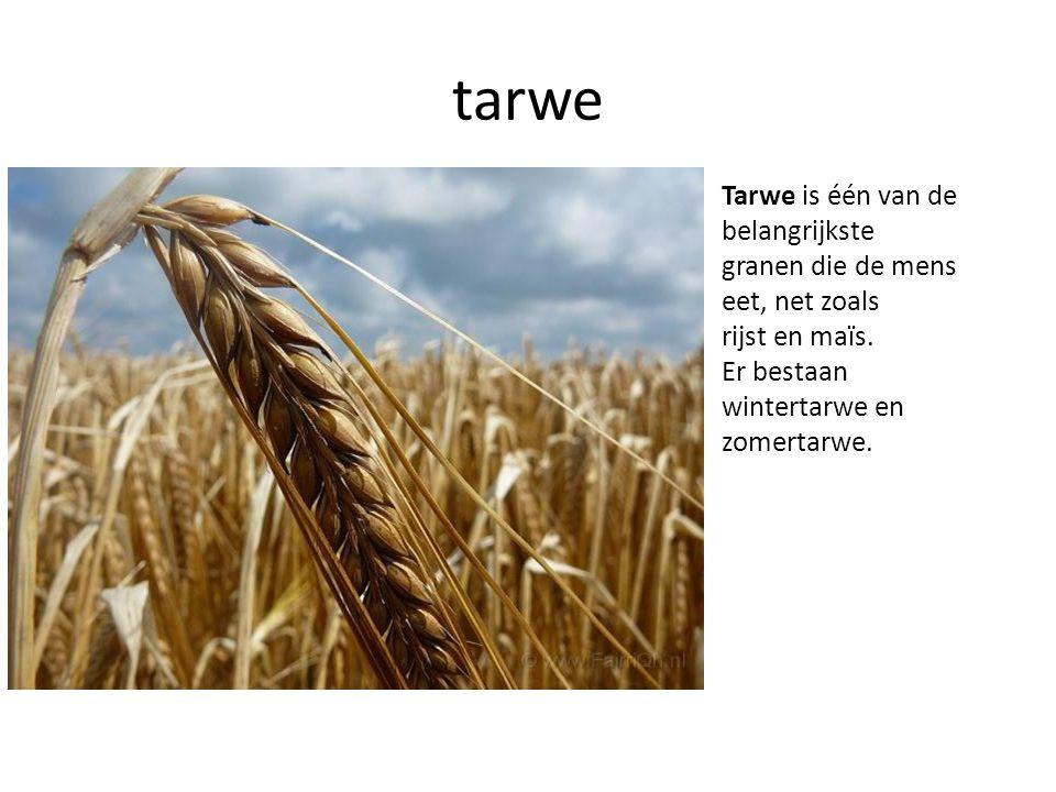 tarwe Tarwe is één van de belangrijkste granen die de mens eet, net zoals rijst en maïs. Er bestaan wintertarwe en zomertarwe.