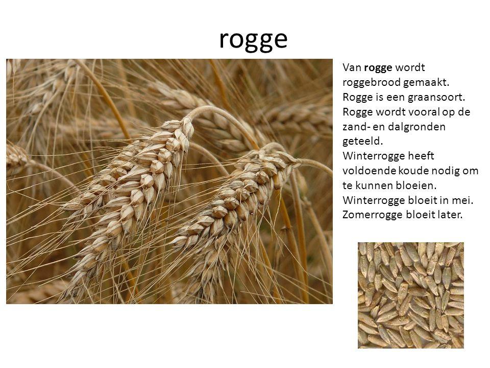 rogge Van rogge wordt roggebrood gemaakt. Rogge is een graansoort. Rogge wordt vooral op de zand- en dalgronden geteeld. Winterrogge heeft voldoende k