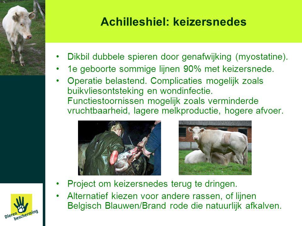 Achilleshiel: keizersnedes •Dikbil dubbele spieren door genafwijking (myostatine). •1e geboorte sommige lijnen 90% met keizersnede. •Operatie belasten