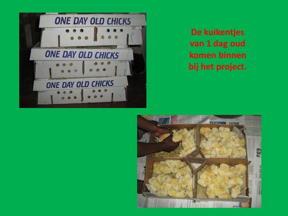 In de kippenschuur worden ze uit de dozen gehaald.