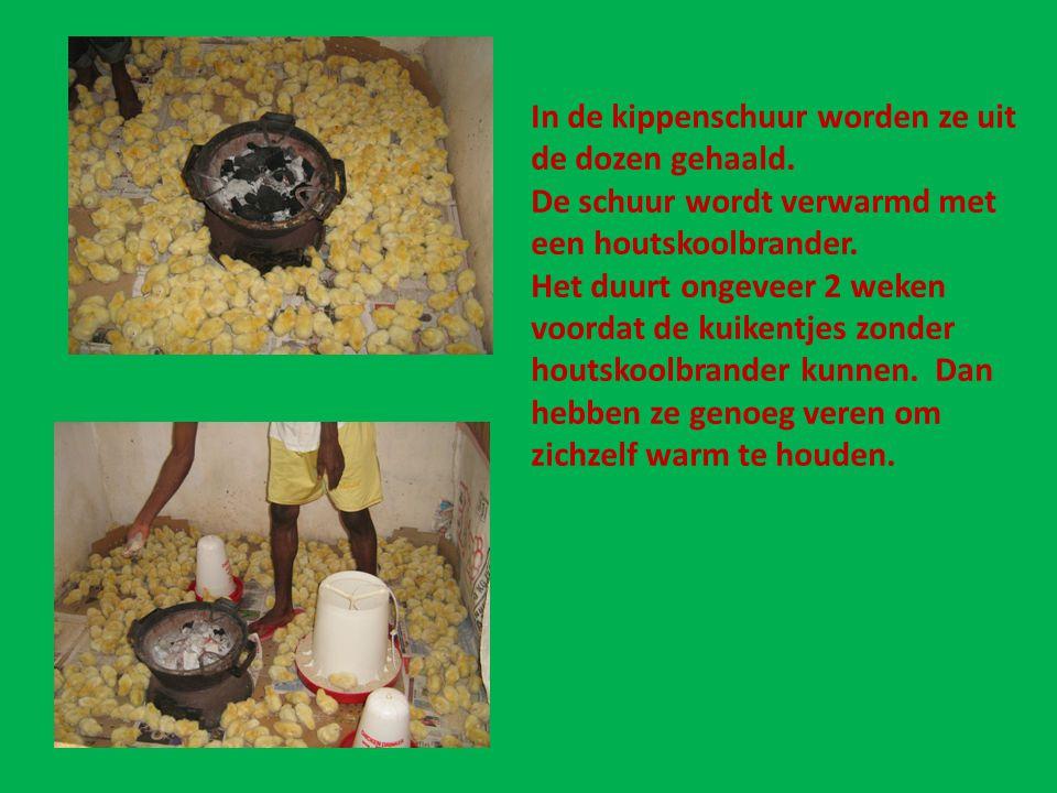 In de kippenschuur worden ze uit de dozen gehaald. De schuur wordt verwarmd met een houtskoolbrander. Het duurt ongeveer 2 weken voordat de kuikentjes