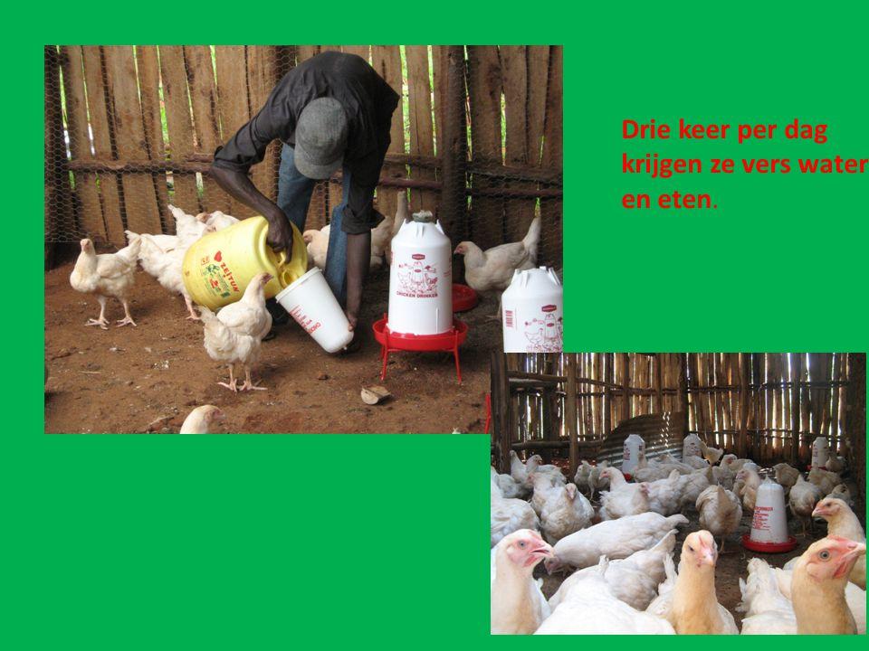 Groeiproces.Na 6 weken gaan de kippen naar een ander gedeelte in de schuur om verkocht te worden.
