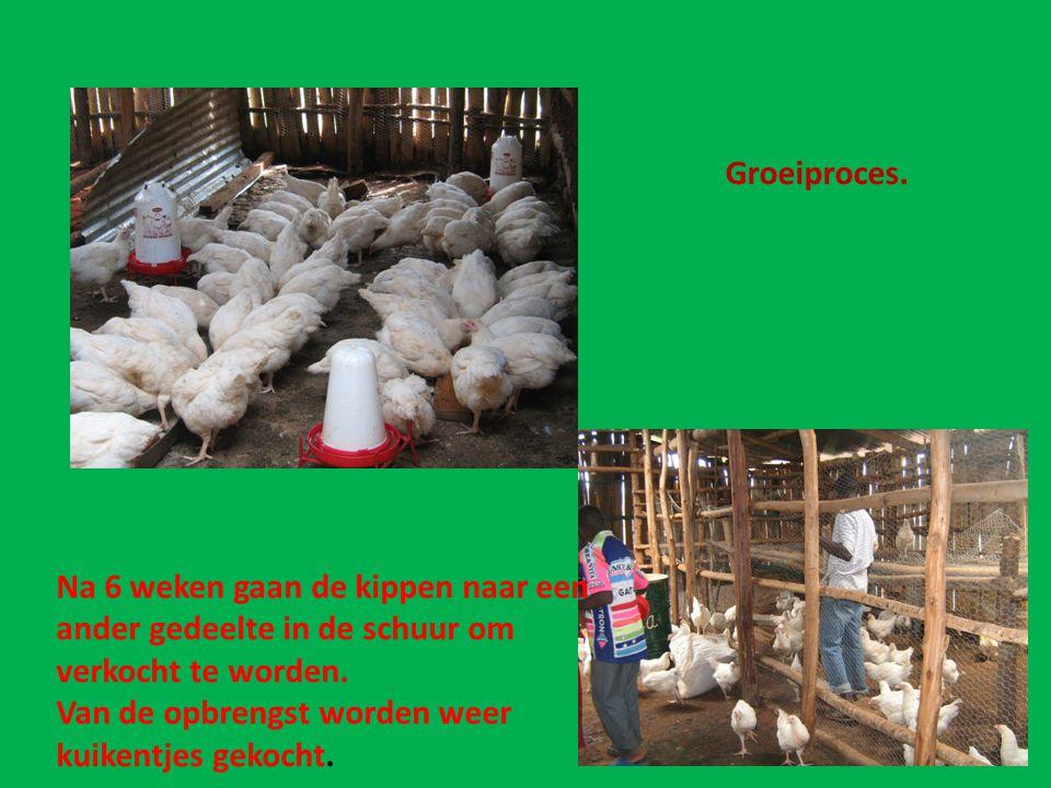 Groeiproces. Na 6 weken gaan de kippen naar een ander gedeelte in de schuur om verkocht te worden. Van de opbrengst worden weer kuikentjes gekocht.