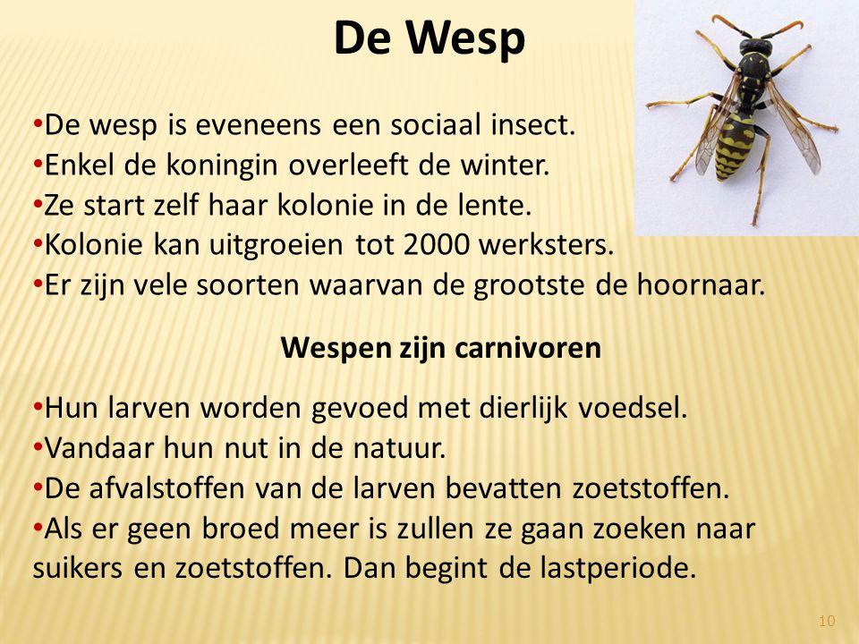 • De wesp is eveneens een sociaal insect. • Enkel de koningin overleeft de winter.