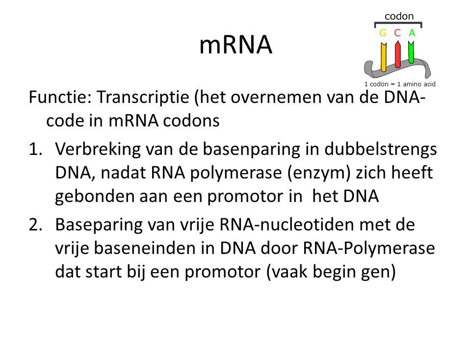 mRNA Functie: Transcriptie (het overnemen van de DNA- code in mRNA codons 1.Verbreking van de basenparing in dubbelstrengs DNA, nadat RNA polymerase (
