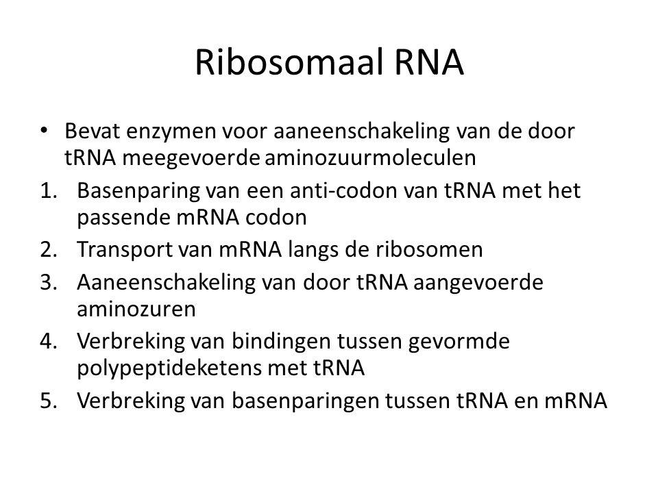 Ribosomaal RNA • Bevat enzymen voor aaneenschakeling van de door tRNA meegevoerde aminozuurmoleculen 1.Basenparing van een anti-codon van tRNA met het