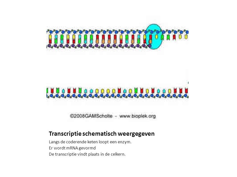 Transcriptie schematisch weergegeven Langs de coderende keten loopt een enzym. Er wordt mRNA gevormd De transcriptie vindt plaats in de celkern.
