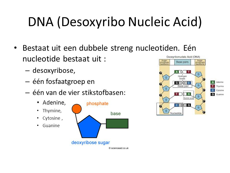 DNA (Desoxyribo Nucleic Acid) • Bestaat uit een dubbele streng nucleotiden. Eén nucleotide bestaat uit : – desoxyribose, – één fosfaatgroep en – één v