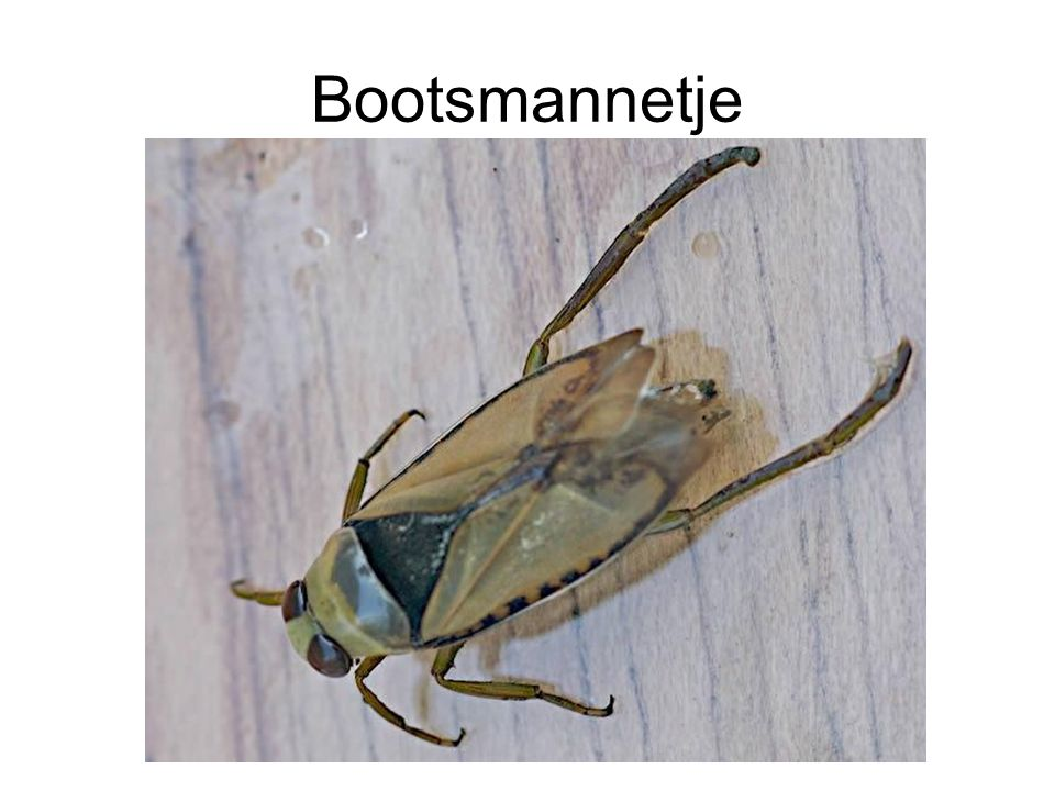 Bootsmannetje