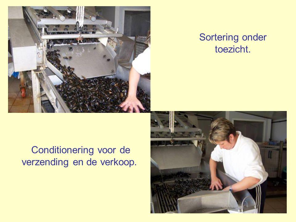 Deze formidabele machine verwijdert de baarden (de baard = dat bosje vezels waarmee de mossel zich aan de paal vastklampt), waarna ze de mosselen wast