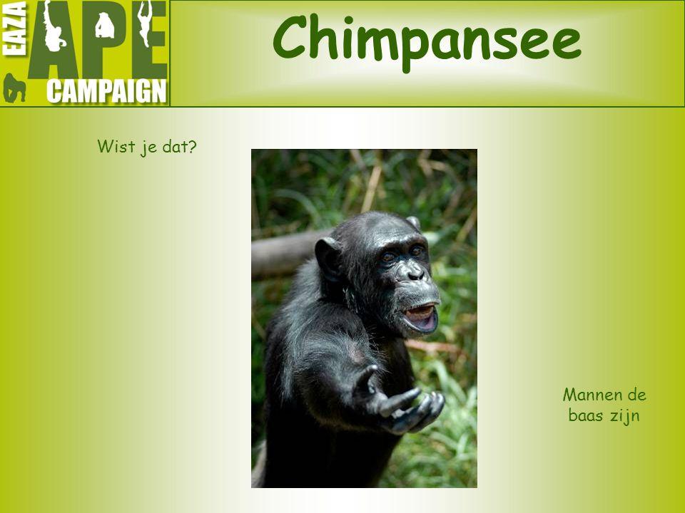 Chimpansee Wist je dat? Mannen de baas zijn