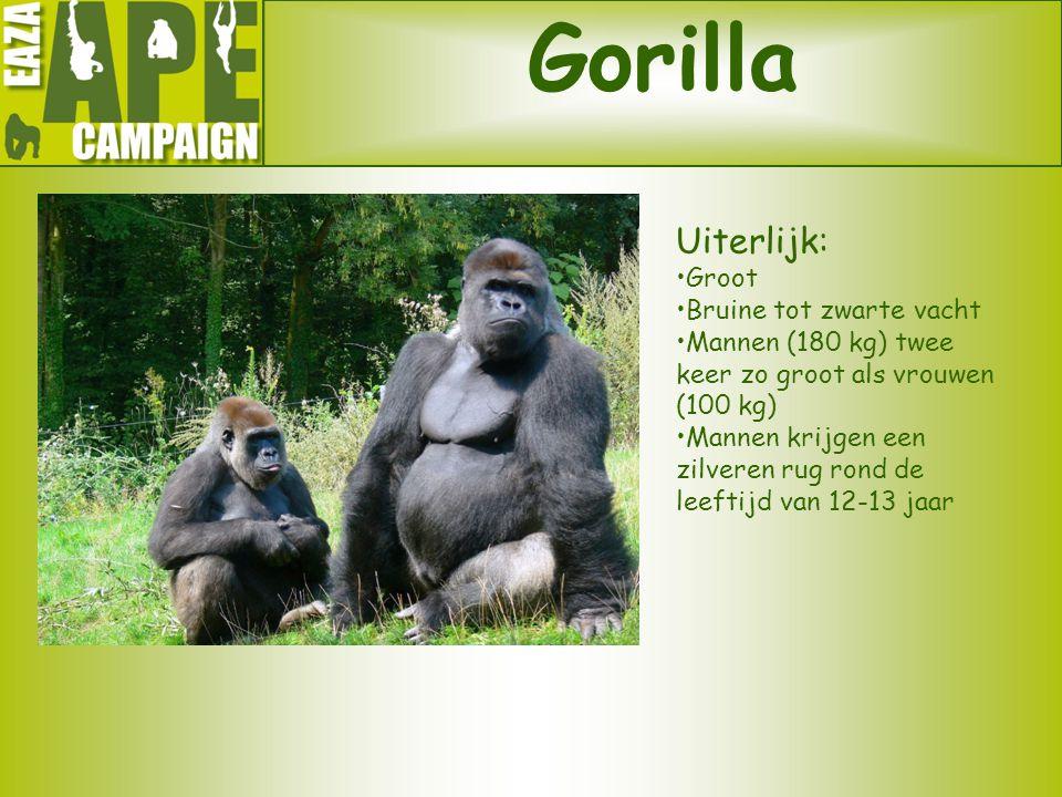 Gorilla Uiterlijk: •Groot •Bruine tot zwarte vacht •Mannen (180 kg) twee keer zo groot als vrouwen (100 kg) •Mannen krijgen een zilveren rug rond de l