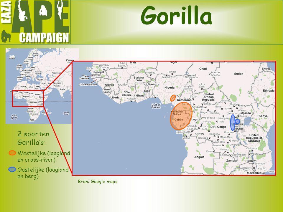 Gorilla Bron: Google maps 2 soorten Gorilla's: Westelijke (laagland en cross-river) Oostelijke (laagland en berg)