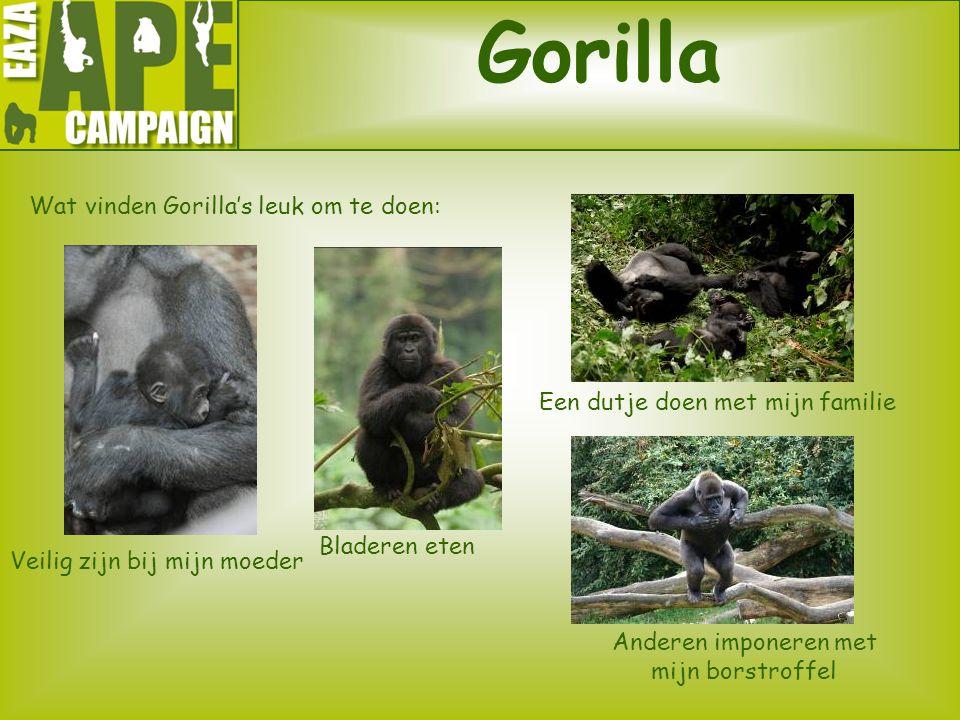 Gorilla Wat vinden Gorilla's leuk om te doen: Veilig zijn bij mijn moeder Bladeren eten Een dutje doen met mijn familie Anderen imponeren met mijn bor
