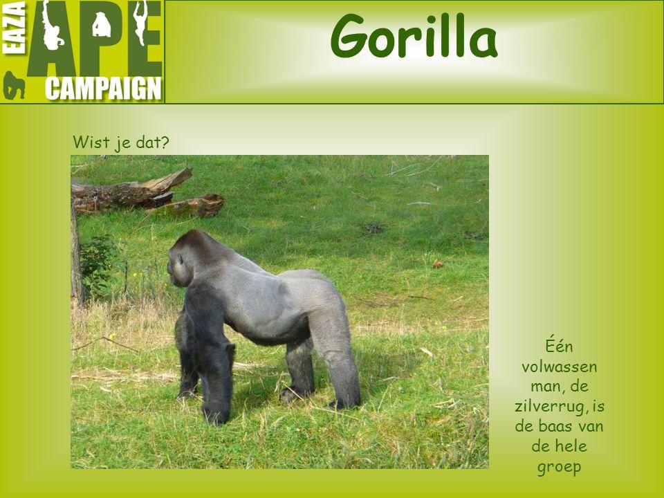 Gorilla Wist je dat? Één volwassen man, de zilverrug, is de baas van de hele groep