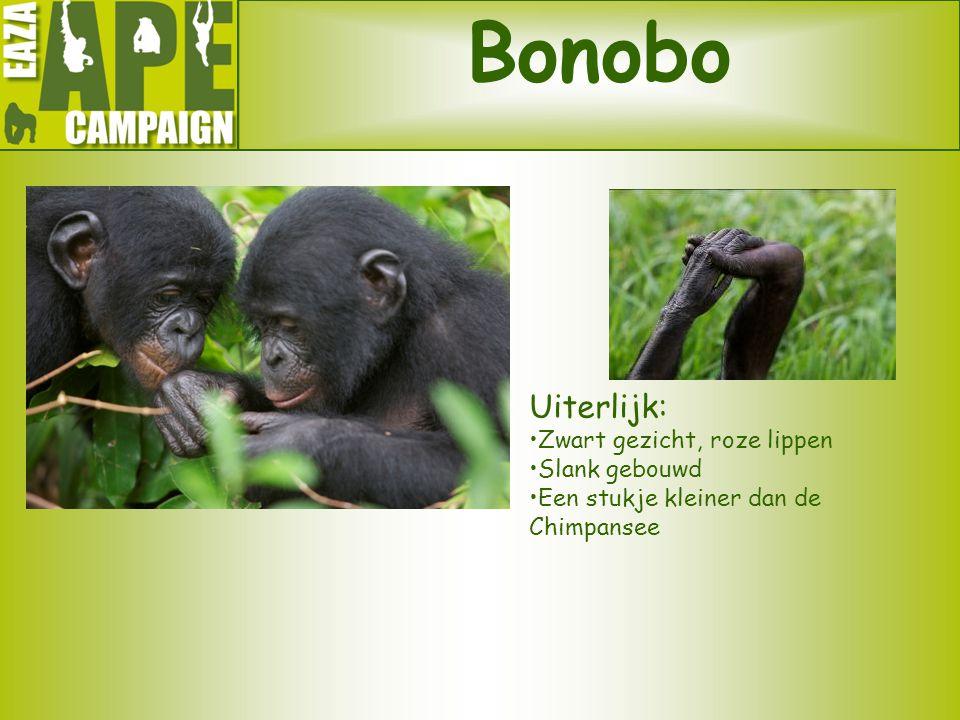 Bonobo Uiterlijk: •Zwart gezicht, roze lippen •Slank gebouwd •Een stukje kleiner dan de Chimpansee