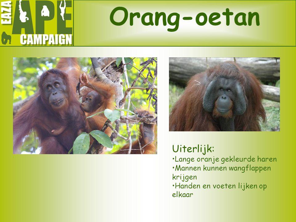 Orang-oetan Uiterlijk: •Lange oranje gekleurde haren •Mannen kunnen wangflappen krijgen •Handen en voeten lijken op elkaar